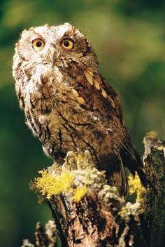 How to Attract a Barred Owl to an Owl House Garden Animals, Farm Animals, Bird Seed Feeders, Owl Box, Barred Owl, Owl House, Backyard Birds, Bird Pictures, Diy Stuffed Animals