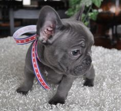Good-looking Black/Blue French Bulldog puppies - I want this color next!