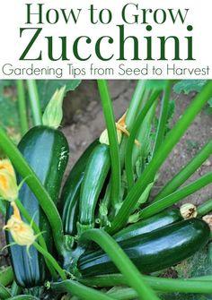 Calabacín crecer a partir de semillas