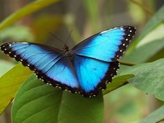 Morpho Butterfly - Sometimes I see these out my window!