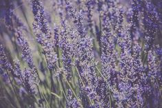 Lavender Bush by Dvoevnore travel photos on Creative Market Lavender Bush by Dvoevnore travel photos Lavender Bush, Website Images, Travel Photos, Close Up, Creative, Modern, Flowers, Plants, Tattoo