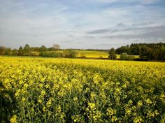 Are you as excited as we are to see this lovely yellow farm soon? We are looking forward to seeing more Canola fields soon.  http://carboncycleinvestments.com/