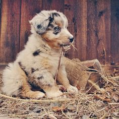 Pinterest: dopethemesz ; beautiful dogs & puppies; Used to raise these Australian Shepherds.
