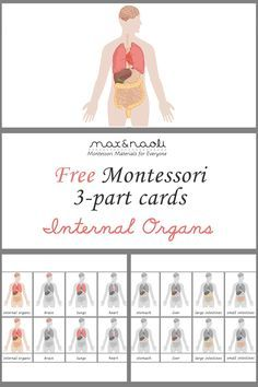 Free Montessori 3-part Cards of Internal Organs + Large Poster