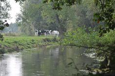 Het vee grazend langs de Dommel