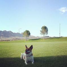 Happy girl #dogs #dogsofinstagram #corgidor #rescuedog #henderson #hendersonnv #tgif #happyfriday by zenlikejen