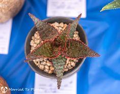 Aloe 'Zinfandel'