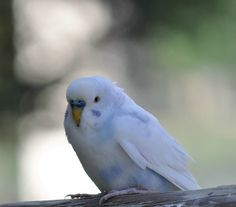 .Pretty Budgie... pretty colors .ღ.