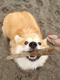 twosillycorgis:    I gets da stick!