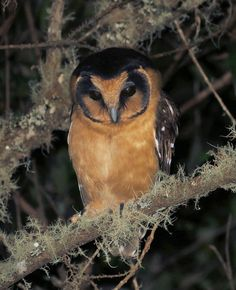 Buff-fronted Owl (Aegolius harrisii). Photo by Willian Menq.