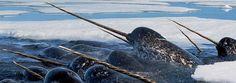 Narvais - Monodon monoceros