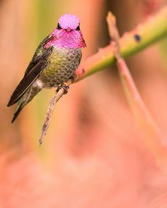fairy-wren:    anna's hummingbird  (photo by danny perez)