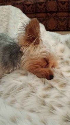 Sleeping on my mom's fuzzy blanket!    Found at: http://itsayorkielife.com/bernies-abby/  #Yorkies,#YorkshireTerriers,#Yorkielove,#ItsaYorkieLife