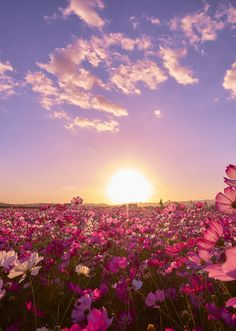 Hitachi Seaside Park Flower Fields Wallpaper HD For Desktop Sunrise Wallpaper, Field Wallpaper, Nature Wallpaper, Spring Aesthetic, Nature Aesthetic, Flower Aesthetic, Aesthetic Backgrounds, Aesthetic Wallpapers, Flowers Nature