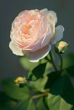 """Foto in """"La magie des roses ( une petite anthologie en images et chansons )"""" - Google Fotos"""