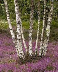 heathers and birches -