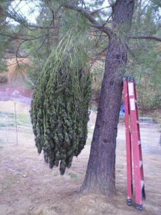 drying (marijuana cannabis )