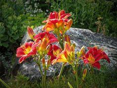 Ruby Sentinel Daylilies - MTBobbins Photography - Glowing Rubies