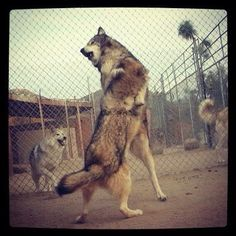 Can you believe these two had only experienced a life being chained to a post as a roadside attraction in Alaska?  Brothers Chance and Koda playing full on, the way only brothers can.  www.wolfconnection.org to learn about our rescue missions and schedule a visit to meet the pack