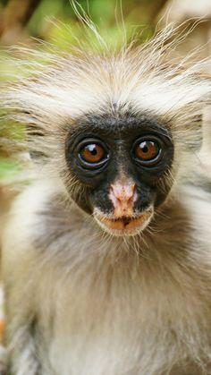 Red Colobus monkey | Flickr - Photo Sharing!
