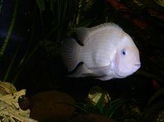 Albino Convict Cichlid 2 females (50gal Fresh Water)