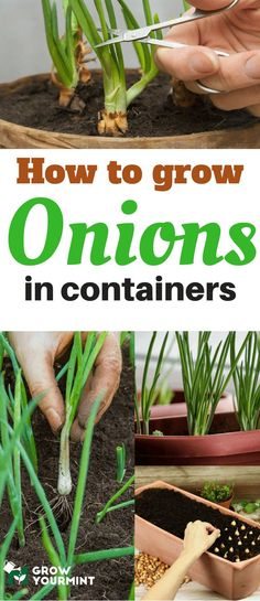 Learning how to grow onions in containers is not rocket science, but still, there are specific areas which must be covered, so that you can expect a good harvest. #gardens#gardening#onions#growyourmint.com
