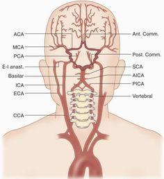 common arteries in brain Gross Anatomy, Brain Anatomy, Medical Anatomy, Human Anatomy And Physiology, Vertebral Artery, Subclavian Artery, Carotid Artery, Nurse Brain Sheet, Arteries Anatomy