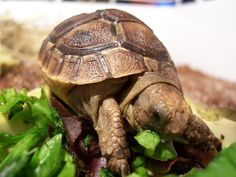 "Russian Tortoise Hatchling (I love tortoises and their salad love. It is like ""NOM TIME NAO"")"
