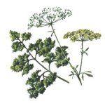 Listes des plantes tinctoriales
