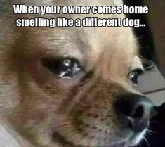 Funny Pictures Of The Day - 43 Pics #chihuahua