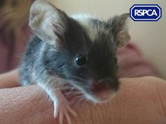 The mice gang, Mice, 0-3 Months, RSPCA Lincolnshire East Branch