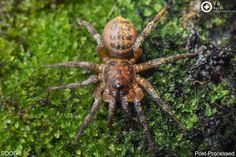 (Liphistius cf. murphyorum) Trapdoor spider
