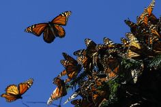 Monarch butterflies fly at the El Rosario butterfly sanctuary in Michoacan, Mexico on Nov. 27. Each fall, the insects migrate from California to the 56,000-hectare sanctuary to survive the winter—an annual spectacle that draws tourists, scientists and locals alike. #TheDailyWild