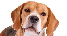Bildergebnis für beagle