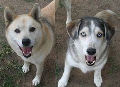 688 _ Salsa & 689 _ Tango was booked in at a kennel by their owner, he never returned to collect them. jasper@huskyrescue.co.za