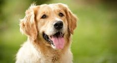 Golden Retrievers are great family dogs due to their playful personalities and mild temperaments. Easy to train and affectionate with other animals, Golden Retrievers are one of a kind. Top 10 Dog Breeds, Popular Dog Breeds, Cute Puppies, Cute Dogs, Dogs And Puppies, Doggies, Toy Dogs, Golden Retriever Mix, Retriever Puppy