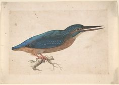 Jacques Le Moyne de Morgues (1533–1588), A Kingfisher on a Branch;  Watercolor and gouache over traces of black chalk, 11.5x18 cm