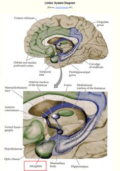 """Limbic System Diagram. READ ARTICLE : """"Brain freeze: The science of procrastination and our smart brains"""""""