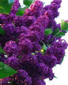 25 Dark Purple Lilac Seeds Tree Fragrant Hardy Perennial Flower Shrub Bloom Spring Early Summer Deciduous Attracts Butterflys Fast Growing by ToadstoolSeeds on Etsy Lilac Bushes, Purple Flowers, Flowers Perennials, Lilac Flowers, Flowers, Pretty Flowers, Lilac Tree, Plants, Planting Flowers