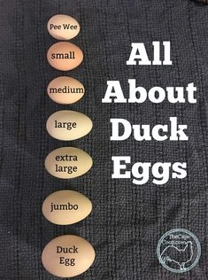 All About Duck Eggs - The Cape Coop Backyard Ducks, Backyard Poultry, Backyard Farming, Chickens Backyard, Raising Ducks, Raising Chickens, Keeping Chickens, Chicken Coop Plans, Chicken Coops