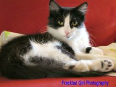 DMH Black and white female; spayed; DOB: July 2012  One of our caring foster parents saw a car slow down and throw Jade and her kittens out of the car in a nearby alley. They were quickly scooped up and immediately placed into a loving foster home....
