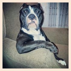 303 besten pitbulls and girls bilder auf pinterest hunde pitbull und haustiere. Black Bedroom Furniture Sets. Home Design Ideas