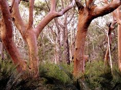 Angophora costata - Angophora is one those complex sense-impressions that never quite comes through in a photo.