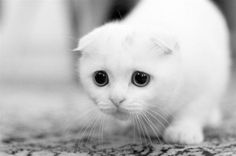 cat photography animals Black and White cats kitten kittens cute cats Baby Animals, Funny Animals, Cute Animals, Small Animals, I Love Cats, Crazy Cats, Cat Diary, Scottish Fold Kittens, Sad Cat
