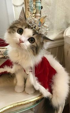Kitty queen beautiful cats, pretty cats, cute little kittens, kittens cutest, cute Cute Little Kittens, Cute Baby Cats, Cute Little Animals, Cute Funny Animals, Kittens Cutest, Funny Cats, Weird Cats, Baby Kitty, Funniest Animals