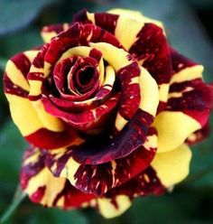 50 pcs rare tiger striped rose seeds bonsai beautiful flower seeds rainbow rose petals plant mix colors for home garden planting Colorful Roses, Exotic Flowers, Amazing Flowers, Beautiful Roses, Beautiful Flowers, Flowers Pics, Rare Roses, Hybrid Tea Roses, Garden Care
