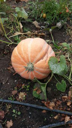 Grand prize pumpkin.  Logan, Utah