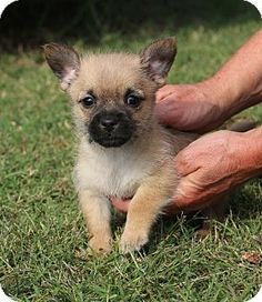 Glastonbury, CT - Shih Tzu/Chihuahua Mix. Meet Hipster~adopted!, a puppy for adoption. http://www.adoptapet.com/pet/11715574-glastonbury-connecticut-shih-tzu-mix