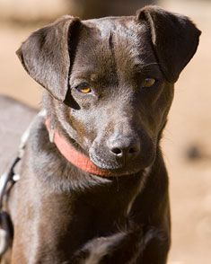 Patterdale Terrier (Fell Terrier)