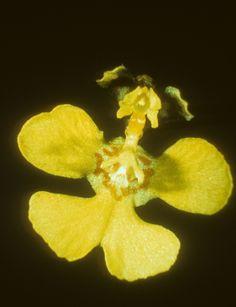 Orchid: Tolumnia quadriloba